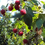 Beautiful raspberries at Kuhestan!